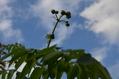 斑入りツワブキ、皇帝ダリアの現状、分からない花 (明朝の追記もあります)