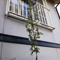 枝垂れ朝顔の採種
