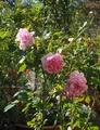 香りのバラ ヘレン