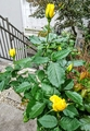 バラは寒くなったら植え替え時