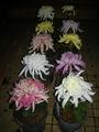 大菊の福助作り