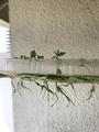 グアバ育成日記8 発芽から41日目 水耕栽培の経過