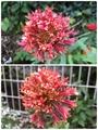 ガイラルディア 花姿の違い