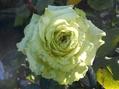 今日のバラ①