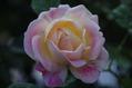 今日のバラ ② 1103