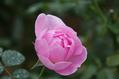今日のバラ ② 1104