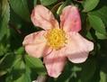 ムタビリスの開花