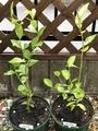 ブルーベリー苗の植え替え🎵