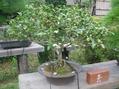 「お茶」の花を展示しました