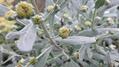 モクビャッコウの花と葉
