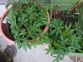 冬越し植物、アゲラタム。