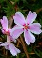 😅なんで今咲く❔芝桜❗其の2