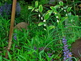 クレマチスと鳴子百合開花
