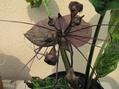 タッカシャントリエの2番花