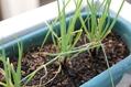 ネギを植える