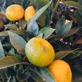 ミカン、キンカン収穫の季節