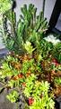 クランベリーの寄せ植え