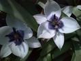青いチューリップ