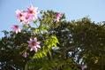 ビオラ、開花しました。