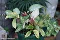 クリスマスローズの原種交配種(H.×ステルニー)