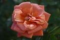 バラ サンテグジュペリが咲きました 1115