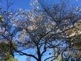 花遊庭の四季桜が咲いてました✿