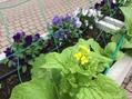 菜の花が咲き出しました!