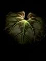 【葉っぱマニアのための葉姿57】