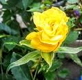 最後の薔薇🌹in函館