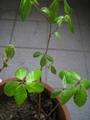 木の名前 コナラのようです