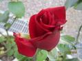 今日の薔薇たちの様子!!30