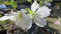 最近連れ帰った花-十月桜