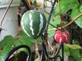 緑と赤の実