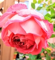 薔薇大好きさんのコレクション
