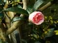 山茶花の花が咲き始めました!