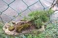 吊鉢の小盆栽『杜松』