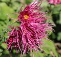 ミニバラ、古典菊