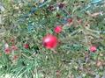 ミニ薔薇『八女津姫』をミニ鉢で咲かせたい。