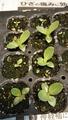 トルコキキョウの育苗