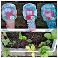 いちごの苗3種を植え付け❗