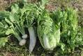 野菜の防寒対策