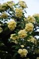 黄木香バラが見ごろに
