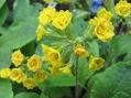 ブリムラ2種