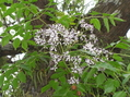 センダンの花と春祭り