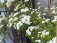 コデマリ 八重咲き