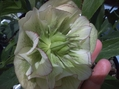 今日の交配花の様子