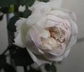冬のバラとお裁縫