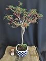 『小姓梅』を植替え小品盆栽への希望