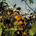 【実】柑橘類3種(ミカン科ミカン属)