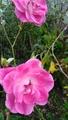 冬のバラたち。 まだある!